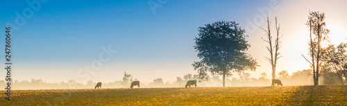 Foto Cows Feeding at Sunrise