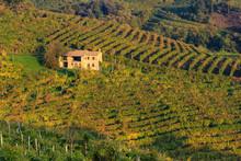 Vigne Di Prosecco Nelle Colline Di Valdobbiadene , Veneto, Italia