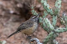 Desert Wren (campylorhunchus Brunneciapillus) Perched On A Cholla Cactus In Arizona's Sonoran Desert.
