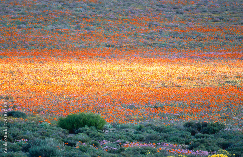 Poster Gris blooming desert in spring of namaqualand, south africa