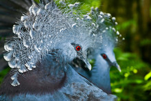 Portrait Of Victoria Crowned Pigeon