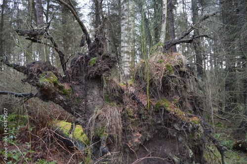 Foto ew life as a green sapling springs from base of uprooted tree in the grounds of