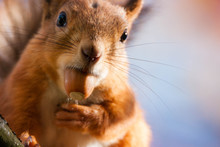 A Closeup Of A Red Squirrel With An Acorn