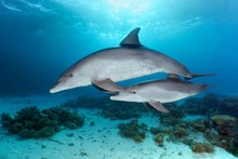 Bottlenose Dolphins (Tursiops Truncatus), Dam With Calf, Swimming In Shallow Water Over Coral Reef In Sunshine, Red Sea, Egypt, Africa