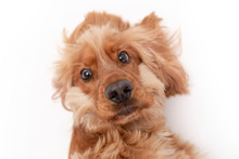 A Golden Ginger Cocker Spaniel Dog Isolated On White Background Close Up