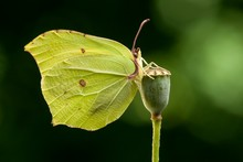 Common Brimstone (Gonepteryx R...