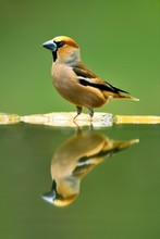 Hawfinches (Coccothraustes Coccothraustes), Male At Waterhole With Reflection, National Park Kiskunsag, Hungary, Europe