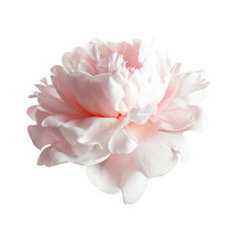 Beautiful Blooming Peony Flower On White Background