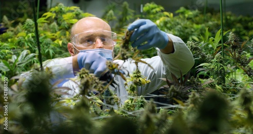 Photo  Portrait of scientist with mask, glasses and gloves checking hemp plants in a greenhouse
