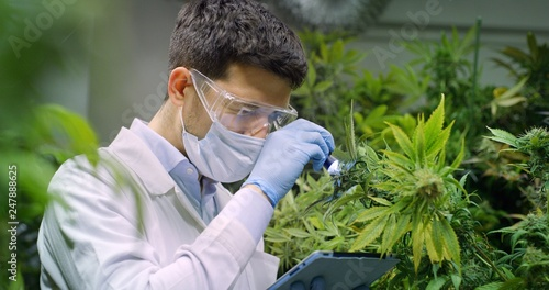Fotomural Portrait of scientist with mask, glasses and gloves checking hemp plants in a greenhouse