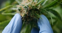 Macro Close Up Of Scientist Hands With Gloves Checking Hemp Plants In A Greenhouse.  Concept Of Herbal Alternative Medicine, Cbd Oil, Pharmaceptical Industry