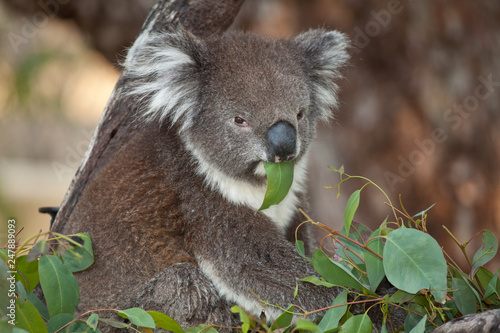 Canvas Prints Koala Koala bear in eucalyptus tree eating leaves
