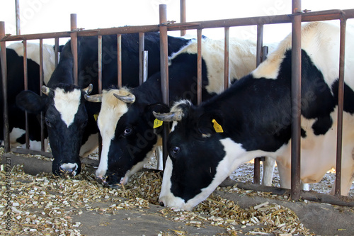 Staande foto Koe cows were eating grass in the farm