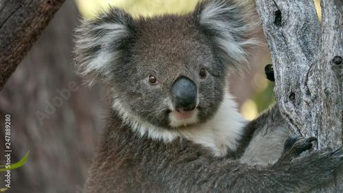Canvas Prints Koala Koala bear in eucalyptus tree, portrait