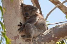 Koala Bear Resting In Eucalyptus Tree
