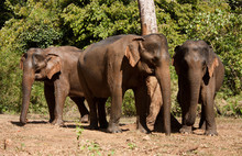 Three Asian Elephants Standing In The Jungle In An Elephant Sanctuary In Cambodia