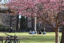 Cherry Trees Bloom On A College Campus With Students In The Background