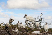 Flock Of Nesting Wood Storks O...