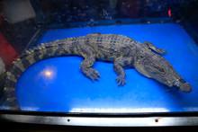 Chinese Alligator In The Aquar...