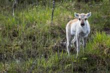 Reindeer Calf In The Woods