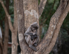 Thai Colobinae Also Gray Langur Long Tailed Monkey On The Tree