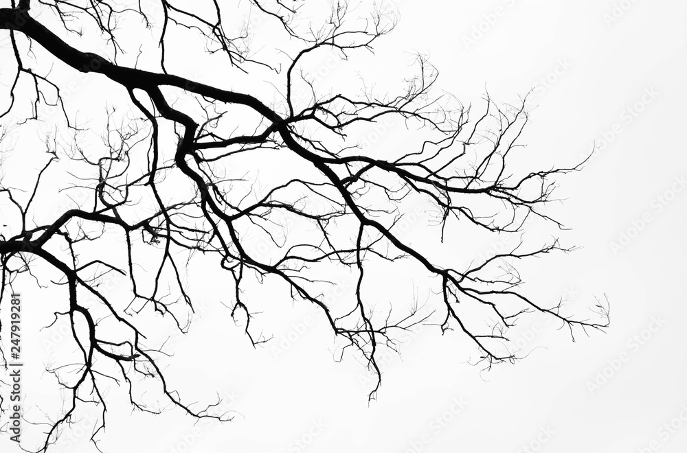 Fototapety, obrazy: Bare tree branches on a pale white background