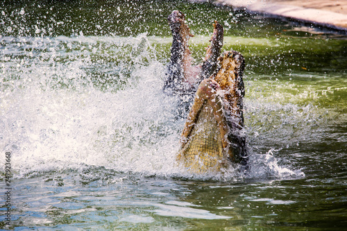 Photo  Two crocodiles are fighting in the water