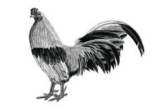 Antique Of Rooster Vintage Hand Draw Engraving Isolated On White Background