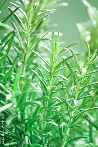 Rosemary Plant In The Garden Culinary Aromatic Herb Buy This