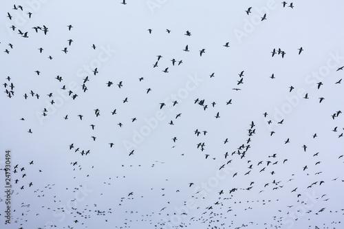 Fotografía  A big flock of barnacle gooses -Branta leucopsis flying in sky