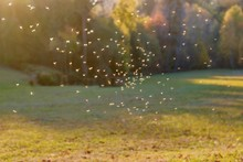 Mosquitos Swarm Flying In The Sunset Light