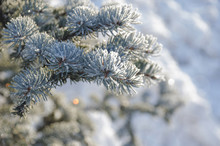 Conifer Branches Close Up With...