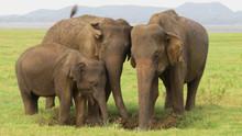 Elephant Family In Minneriya N...