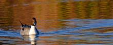 Spießente (Anas Acuta) - Northern Pintail