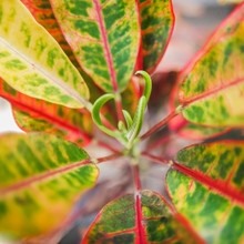 Top View Of Aglaonema Plant. Leaves Are Glossy-green Yellow And Pink, The Center And Edges Are Pink, Stalks Are Pink. Common Name Is Chinese Evergreens. Genus Is Aglaonema. Family Is Araceae.