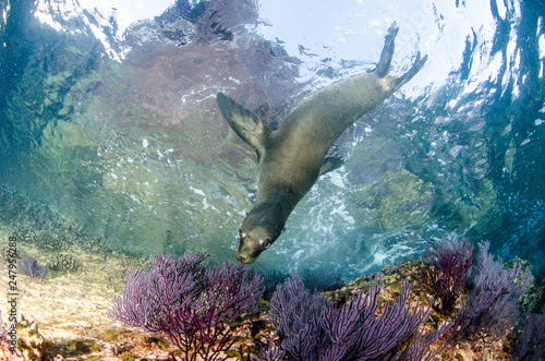 Foto op Aluminium Dolfijn Californian sea lion (Zalophus californianus) swimming and playing in the reefs of los islotes in Espiritu Santo island at La paz,The world's aquarium. Baja California Sur,Mexico.