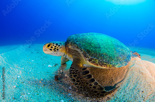 Spoed Fotobehang Schildpad Sea turtle resting in the reefs of Cabo Pulmo National Park. Baja California Sur,Mexico.