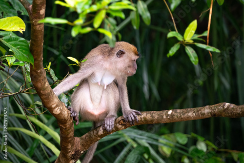 Photo  Mother Macaque Monkey in Bako National Park, Borneo Malaysia
