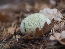 Puffball Mushroom Under The Fallen Leaves