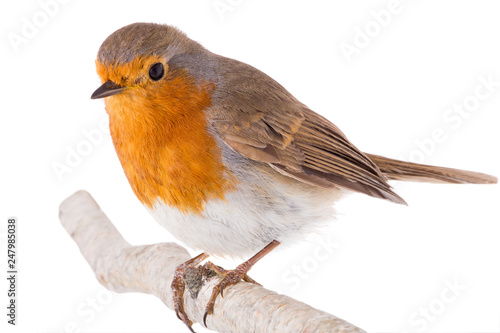 Poster Vogel European robin (Erithacus rubecula) on a branch