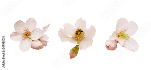 Beautiful almond flowers isolated on white background Canvas Print