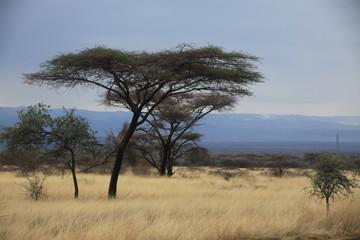 afrykańska sawanna z drzewami i suchymi trawami w upalny słoneczny dzień
