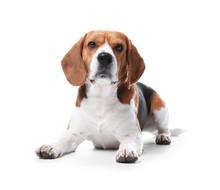 Beautiful Beagle Dog On White ...