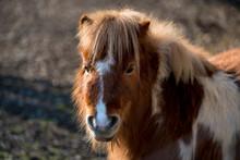Little Shaggy Pony Is Grazing