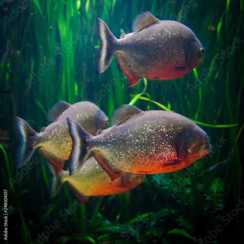 Fotografia, Obraz  piranha fish underwater close up portrait