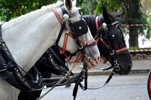 Drawn By Two Beautiful Horses, Black And White, Standing In The Center Of The City For The Entertainment Of Tourists