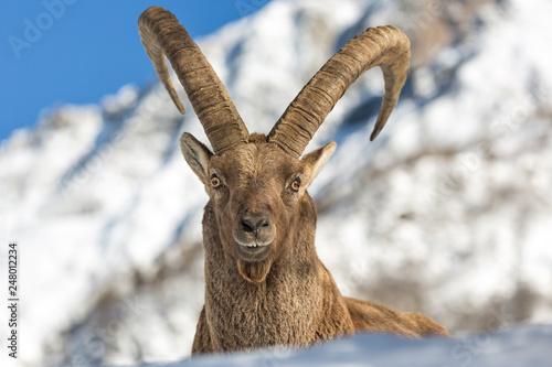 Photo Splendido ritratto di stambecco alpino (Capra ibex)