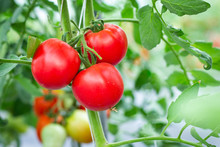 Organic Tomatoes In Farm