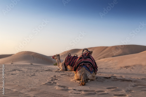 Valokuvatapetti Camels in the Abu Dhabi desert with sunset.