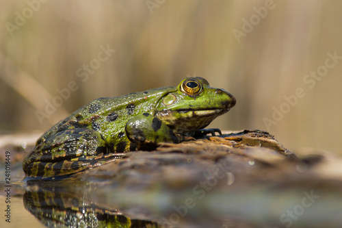 The marsh frog Pelophylax ridibundus in Czech Republic Canvas Print